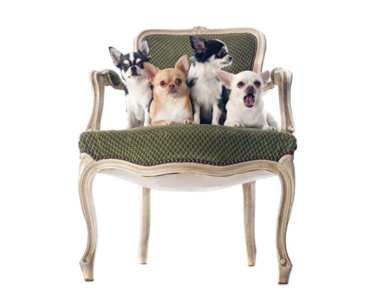 chaise ancienne avec des chihuahua
